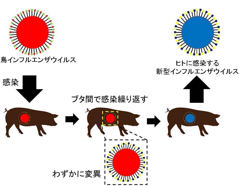 ブタ間でインフルエンザウイルスが感染するモデル