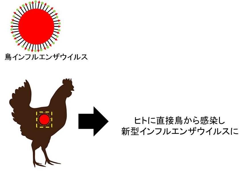 鳥から直接インフルエンザウイルスに感染するモデル