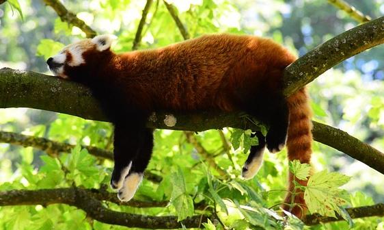 木の枝で寝ているレッサーパンダ