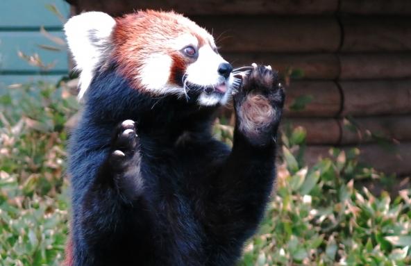 立ち上がったレッサーパンダの上半身