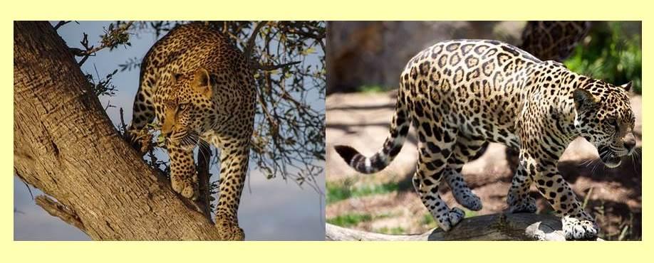 木に登ったヒョウと地面に立つジャガー