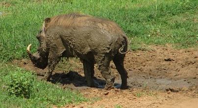 泥を体につけたイボイノシシの後ろ姿