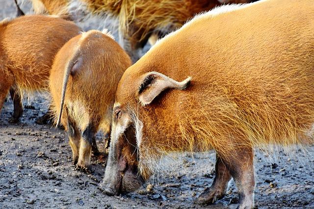 泥の上にいるアカカワイノシシの群れ
