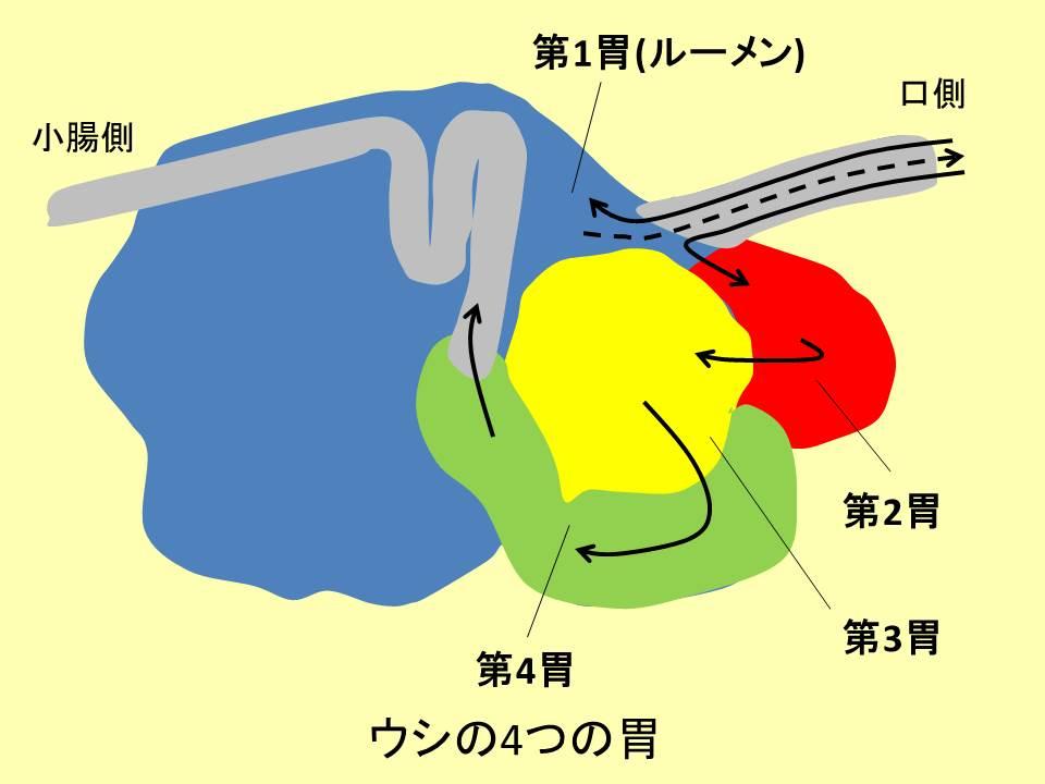 ウシの4つの胃のイラストと文字
