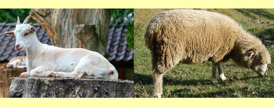 切り株に座った白いヤギと草を食べるヒツジ