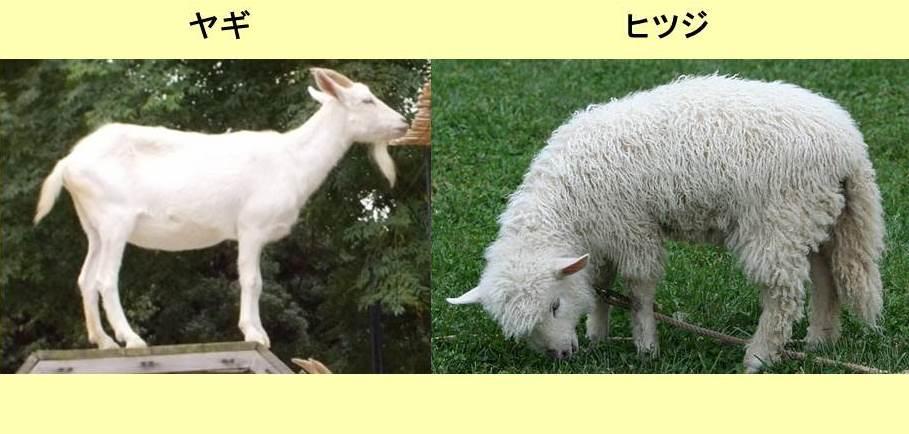 側面から見たヤギと側面から見たヒツジ