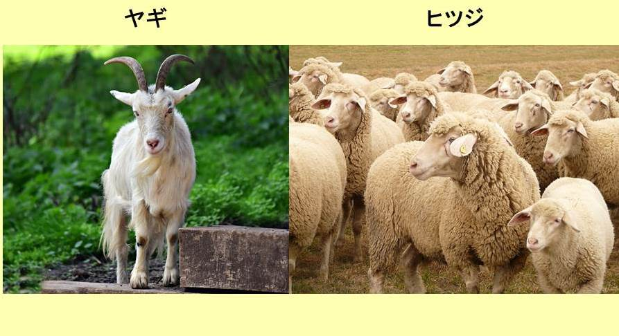 正面から見たヤギとヒツジの群れ