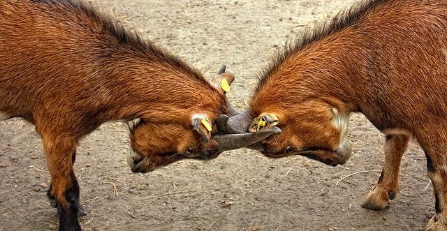 角を突き合わせる二頭の茶色いヤギ