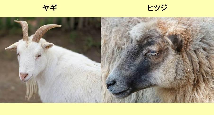 ヤギとヒツジの顔