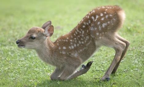 鹿の子模様を持つひざまづいた小鹿