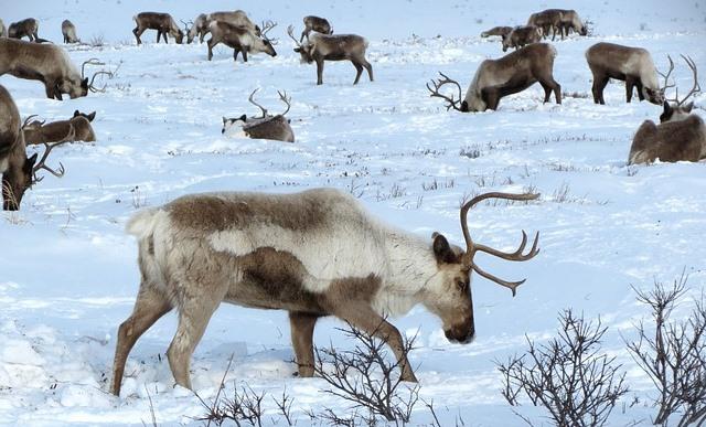 雪の上で食事をしたり、休憩したりしているトナカイの群れ