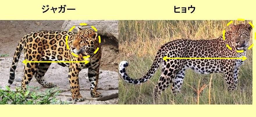 ジャガーとヒョウの立ち姿