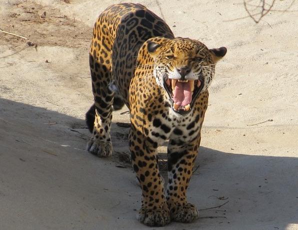 口を大きく開けたジャガー