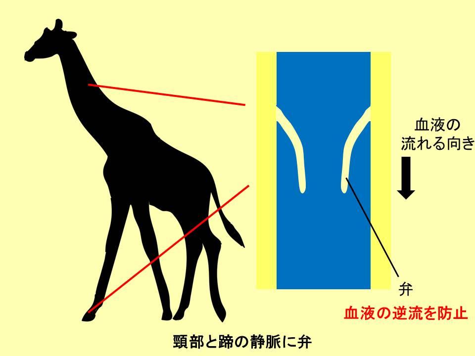 キリンの頸部と蹄の静脈を示すイラスト