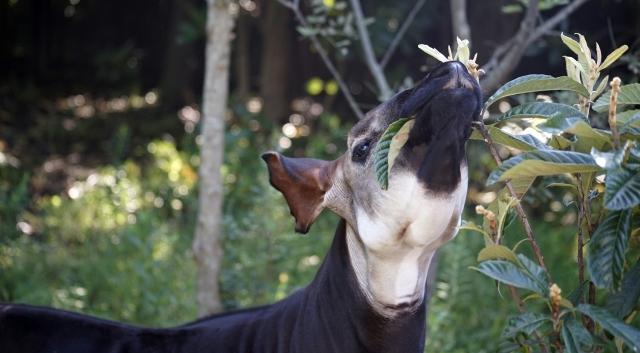 葉を食べるオカピの顔