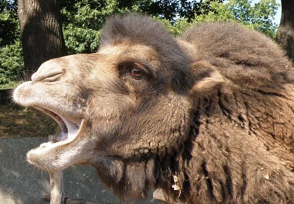 口を開けたフタコブラクダの顔