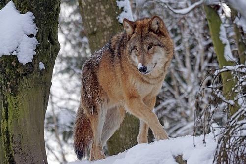 雪が積もった木の間に立つオオカミ