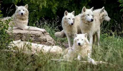白いオオカミの群れ