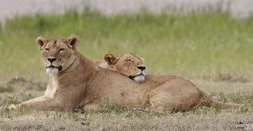 座っている雌ライオンに頭を載せる別のメスライオン