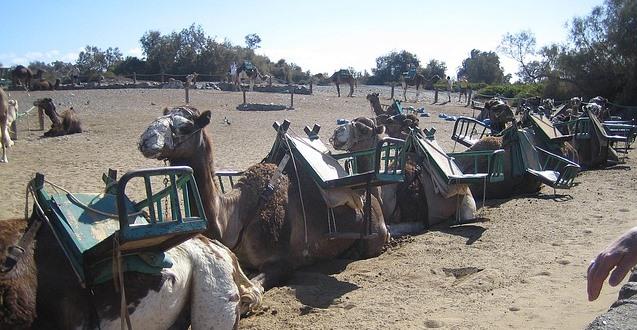 鞍を載せたラクダの群れが一列に並んで座っている写真
