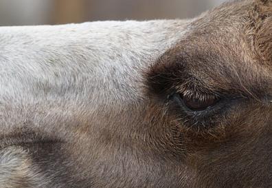 ラクダの目