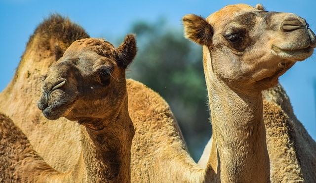 2頭のラクダの顔の写真