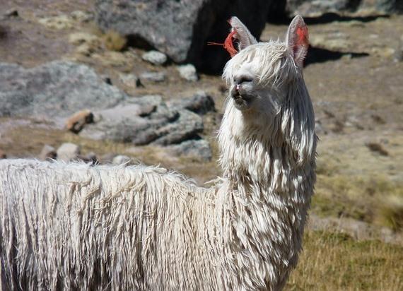 体毛が伸びたアルパカの上半身