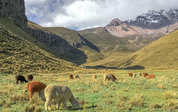 高山草原で草を食べるアルパカの群れ