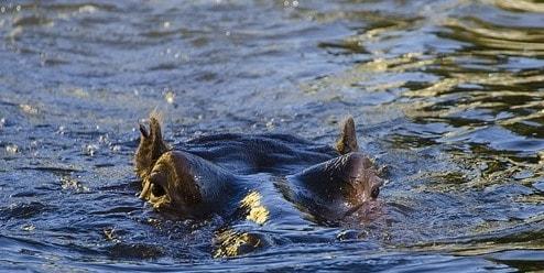 水面の上にあるカバの目、耳、鼻