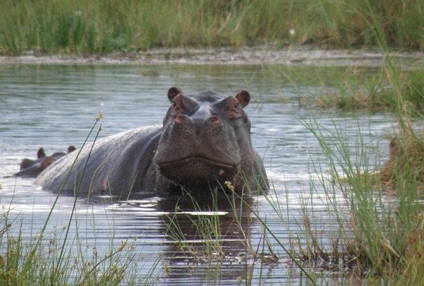 水から上がろうとしているカバ