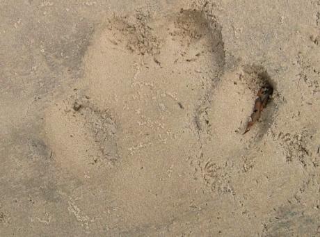 砂場についたカバの足跡