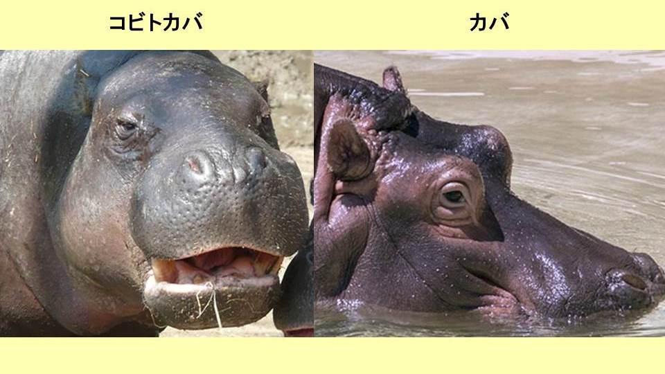 コビトカバとカバの顔