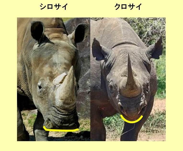 シロサイとクロサイの口の形の違いを示す写真