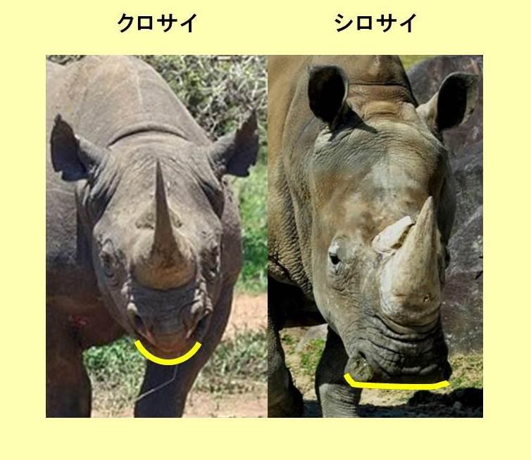 クロサイとシロサイの口の形の違いを示すイラスト