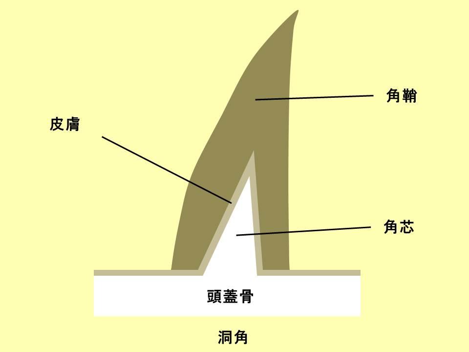 洞角の構造を表すイラスト