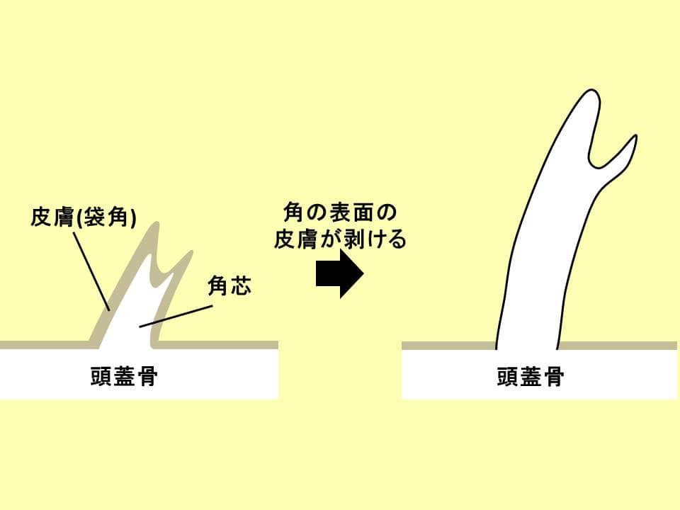 シカの角の構成を表すイラスト