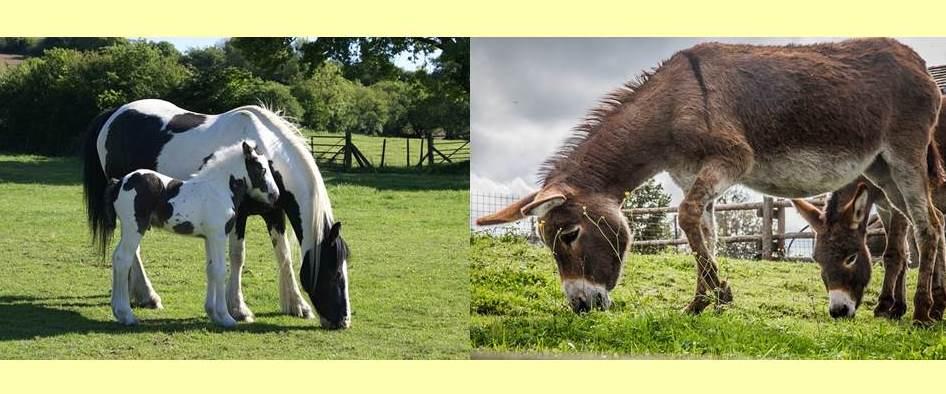 草を食べるウマとロバ