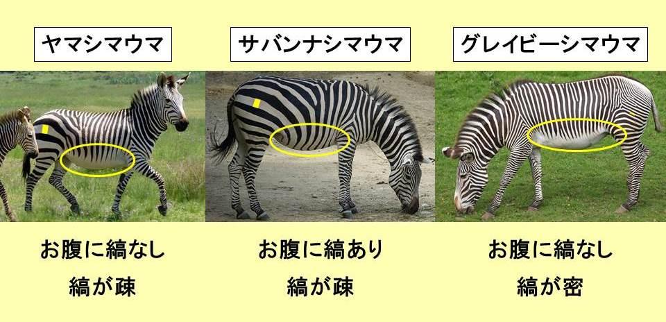 3種類のシマウマの写真と文字と黄色い背景