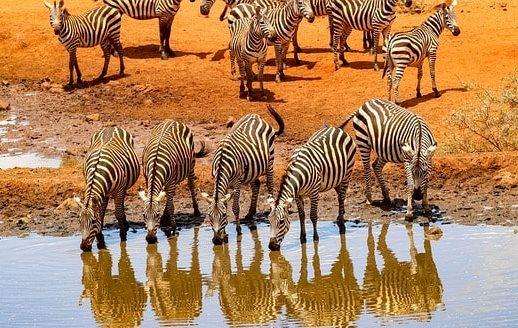 水辺で水を飲む5頭のシマウマと背後に控えるシマウマの群れ