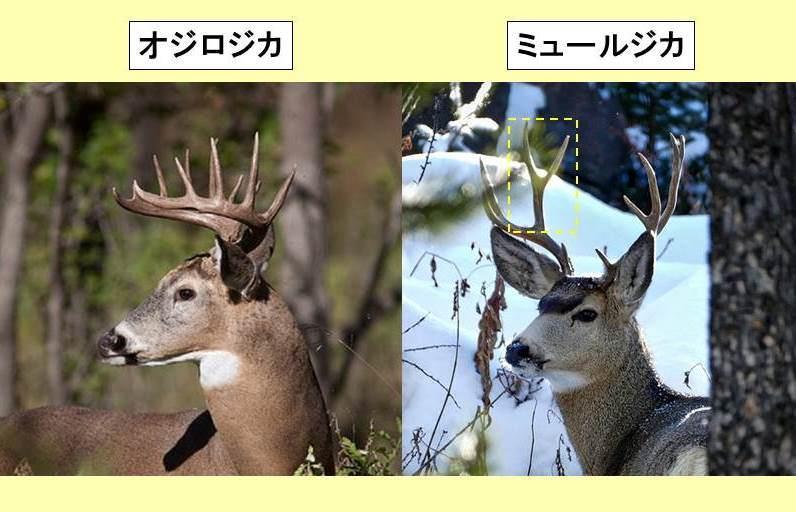オジロジカとミュールジカの頭