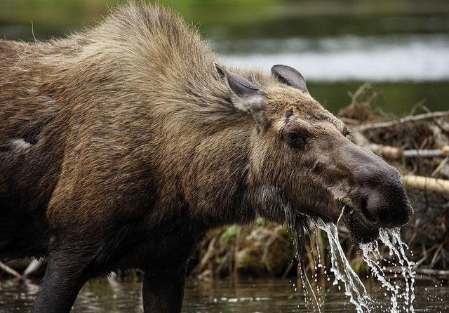 水に入って水草を食べる角のないヘラジカの上半身