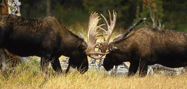 草場で角を突き合わせて争う二頭のヘラジカ