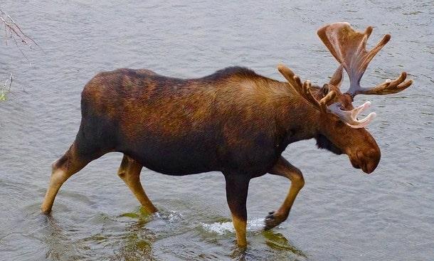 水の中を歩く角の生えたヘラジカ