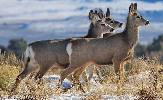 降雪地帯に佇むミュールジカの群れ