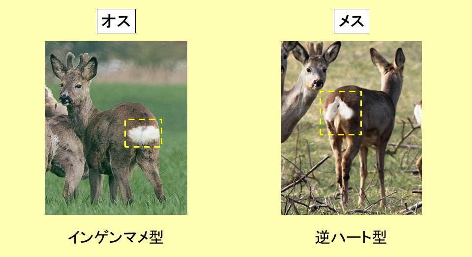 ノロジカのオスとメスの見分け方を示す図