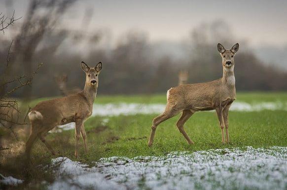 開けた草地に立つ2頭のノロジカ