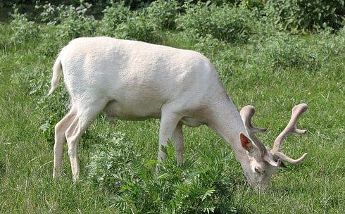 草を食べる白い角の生えたダマジカ