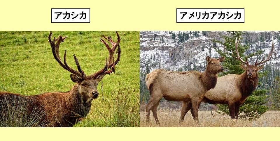 角の生えたアカシカの上半身と2頭のアメリカアカシカの写真