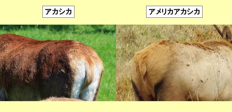 アカシカとアメリカアカシカの尻の写真