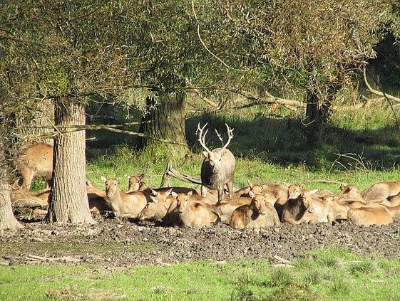 草むらと木々の間に座るアカシカの群れ